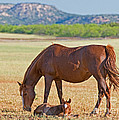 Wild Horses Mother And Foal by Millard H. Sharp