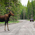 Wild Moose by Brandon Smith