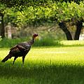 Wild Turkey by Scott Hovind