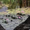Wild Water Lilies In The River by Sabrina L Ryan