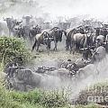 Wildebeest Migration 1 by Gilad Flesch
