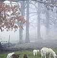 Winter Lambs Foggy Day by Thomas R Fletcher