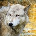 Wolf 2 by Steve McKinzie