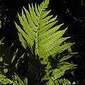 Woodland Fern by D L Gerring