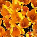 Yellow Crocus Flowers In Sunlight by Kerstin Ivarsson