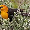 Yellow Headed Black Bird At Willow Flats by Fred Stearns
