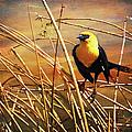Yellow - Headed Blackbird by Theresa Tahara
