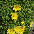 Yellow Ice Plant In Bloom by Mike and Sharon Mathews