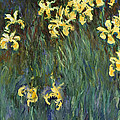 Yellow Irises  by Mountain Dreams
