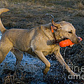 Yellow Labrador by Linda Freshwaters Arndt