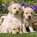 Yellow Labrador Puppies by Jean-Michel Labat