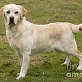 Yellow Labrador Retriever by Jean-Michel Labat