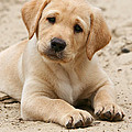 Yellow Labrador Retriever Puppy Lying In Sand by Dog Photos