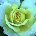 Yellow Rose by Allen Beatty