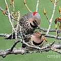 Yellow-shafted Northern Flickers by J McCombie