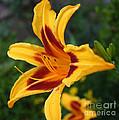 Yellow Tiger Lily by Dora Sofia Caputo Photographic Design and Fine Art