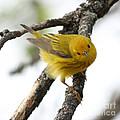 Yellow Warbler  by Lori Tordsen