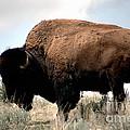 Yellowstone Bison by Sharon Elliott