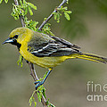 Young Orchard Oriole by Anthony Mercieca