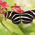 Zebra Longwing Butterfly by Saija  Lehtonen