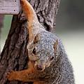 Eastern Fox Squirrel by Jack R Brock