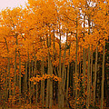 2011 Rocky Mountain Aspens II by Jacqueline Russell