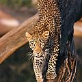2012 Leopard Climbing Down Tree by Chris Maher