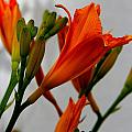 2013 Day Lilies by Jeanette C Landstrom