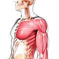 Human Musculature by Pixologicstudio/science Photo Library