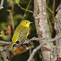 Yellow Warbler by Doug Lloyd