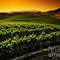 In A Vineyard by Indian Summer