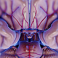 Brain With Blood Supply by Science Picture Co