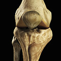 Knee Bones Right by Science Picture Co