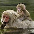 Snow Monkeys, Japan by John Shaw