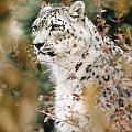 2321 White Snow Leopard In Brush by Chris Maher