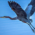 Great Blue Heron by Brian Stevens