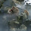 Macaque Du Japon Macaca Fuscata by Gerard Lacz