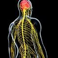 Male Nervous System by Pixologicstudio/science Photo Library