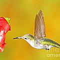 Ruby Throated Hummingbird by Millard H. Sharp