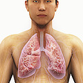 The Respiratory System by Science Picture Co