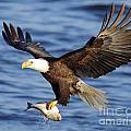 Bald Eagle by Steve Javorsky