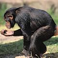 Chimpanze Pan Troglodytes by Gerard Lacz