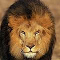 Lion Dafrique Panthera Leo by Gerard Lacz