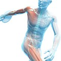 Male Musculature by Sciepro/science Photo Library