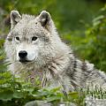Arctic Wolf by Wolves Only