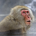 Japanese Macaque by John Shaw