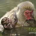 Snow Monkeys, Japan by John Shaw