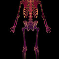 The Skeleton by Science Picture Co