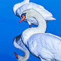 Mute Swans by Brian Stevens