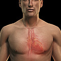 The Cardiovascular System by Science Picture Co